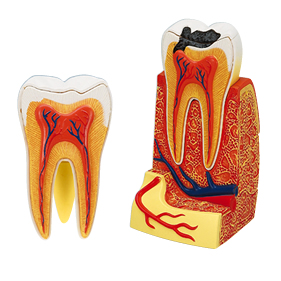 立体パズル 歯根解剖モデル