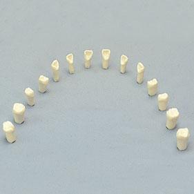 FEED デモンストレーションモデル 歯牙模型