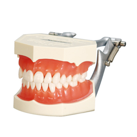 複製模型歯着脱顎模型