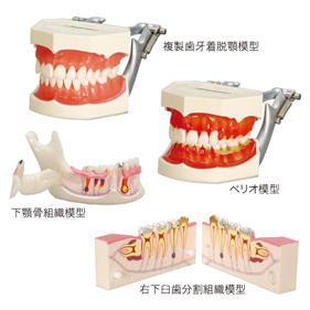 右下臼歯分割組織模型