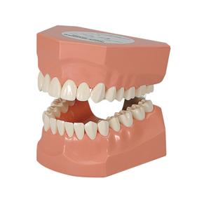 2倍大歯磨き指導用模型(永久歯列)